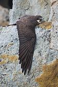 Faucon d'Eléonore (Falco eleonorae) sur sa proie, Sardaigne, Italie