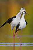 Black-winged Stilt (Himantopus himantopus) adults in courtship, Campania, Italy