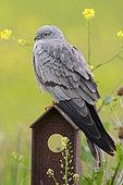 Montagu's Harrier, adult, male, campania, italy (Cyrcus pygargus)