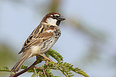 Spanish Sparrow (Passer hispaniolensis), Male, Santiago, Cape Verde
