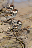 Spanish Sparrow (Passer hispaniolensis), Male, Boavista, Cape Verde