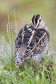 Common Snipe (Gallinago gallinago faeroeensis), adult resting in the grass, Northeastern Region, Iceland