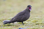 Parasitic Jaeger (Stercorarius parasiticus), dark morph adult standing on the ground with open mouth, Southern Region, Iceland