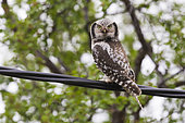 Northern Hawk-Owl (Surnia ulula), adult perched on a wire, Finnmark, Norway