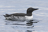 Common Murre (Uria aalge), bridled adult swimming in the sea, Finnmark, Norway