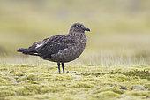 Great Skua (Stercorarius skua), adult, Southern, Iceland