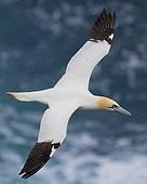 Fou de Bassan (Morus bassanus) en vol au dessus de la mer, Nord Est Islande
