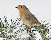 European Robin (Erithacus rubecula), adult standing on a branch covered in snow, Campania, Italy