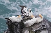 Fou de Bassan (Morus bassanus)sur rivage rocheux, Nord Est Islande
