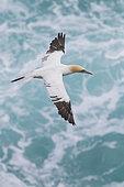 Fou de Bassan (Morus bassanus) immature en vol au dessus de la mer, Nord Est Islande