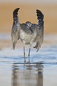 Greenshank (Tringa nebularia), adult taking off from the water, Campania, Italy