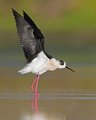 Black-winged Stilt (Himantopus himantopus), adult stretching its wings, Campania, Italy