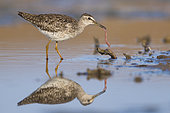 Wood Sandpiper (Tringa glareola), adult feeding on an earthworm, Campania, Italy