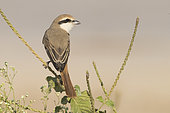 Red-tailed Shrike (Lanius phoenicuroides), adult perched on a stem, Dhofar, Oman