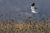Hen Harrier (Circus cyaneus), adult male in flight, Campania, Italy