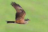 Black Kite (Milvus migrans), adult in flight, Basilicata, Italy