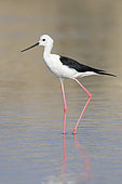 Black-winged Stilt (Himantopus himantopus), side view of an adult in winter plumage standing in the water, Dhofar, Oman
