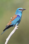 European Roller (Coracias garrulus), side view of an adult perched on a branch, Basilicata Italy