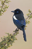 Maghreb Magpie (Pica pica mauritanica), back view of an adult perched on a branch, Draâ-Tafilalet, Morocco