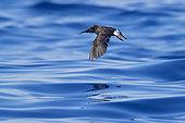 European Storm Petrel (Hydrobates pelagicus melitensis), individual in flight over the sea, Tuscany, Italy