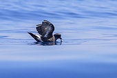 European Storm Petrel (Hydrobates pelagicus melitensis), individual in catching food on the water surface, Tuscany, Italy