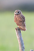 Marsh Owl (Asio capensis tingitanus), adult perched on a post, Rabat-Salé-Kenitra,u Morocco