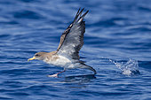 Scopoli's Shearwater (Calonectris diomedea), side view of an adult taking off from the water, Tuscany, Italy