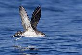 Yelkouan Shearwater (Puffinus yelkouan), individual in flight in Tuscany, Italy
