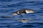 Yelkouan Shearwater (Puffinus yelkouan), side view of an individual taking off from the sea in Tuscany, Italy