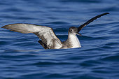 Yelkouan Shearwater (Puffinus yelkouan), individual sitting on the water with spread wings, Tuscany Italy