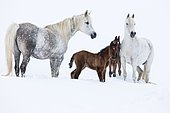 Purebred Arabian horses, mares with foals in the snow, Gray, Tyrol, Austria, Europe