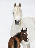 Purebred Arabian mare and foal in the snow, Gray, Tyrol, Austria, Europe