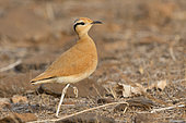 Cream-colored courser (Cursorius cursor exsul), Adult, Santiago, Cape Verde