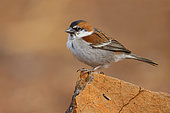 Iago Sparrow (Passer iagoensis), Male on rock, Santiago, Cape Verde
