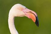 Greater Flamingo (Phoenicopterus roseus), adult close-up, Campania, Italy