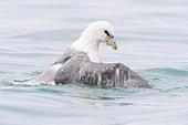 Northern Fulmar (Fulmarus glacialis auduboni), adult taking a bath, Northeastern Region, Iceland