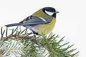 Great Tit (Parus major aphrodite), adult standing on Silver Fir branch, Campania, Italy