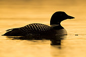 Great Northern Loon (Gavia immer), adult swimming in a lake at sunset Northeastern Region, Iceland