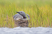Red-throated Loon (Gavia stellata), adult sitting on nest, Southern Region, Iceland
