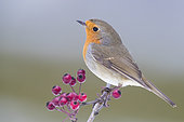 European Robin (Erithacus rubecula), adult standing on a Hawthorn Branch, Campania, Italy