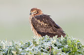 Montagu's Harrier (Circus pygargus), adult female sitting on the ground, Campania, Italy
