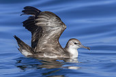 Persian Shearwater (Puffinus persicus), side view od an adult spreading its wings, Dhofar, Oman