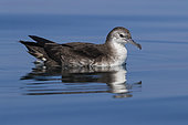Persian Shearwater (Puffinus persicus), side view od an adult floating on the water surface, Dhofar, Oman