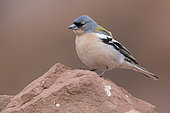 Common Chaffinch (Fringilla coelebs africana), adult male standing on a stone, Rabat-Salé-Kenitra, Morocco