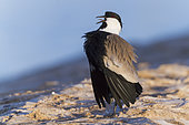 Spur-winged Lapwing (Vanellus spinosus), adult in display, South Sinai Governorate Egypt
