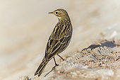 Red-throated Pipit (Anthus cervinus), first winter individual seen from back, South Sinai Governorate, Egypt