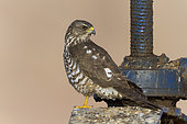 Levant Sparrowhawk (Accipiter brevipes), juvenile standing on a sluice, South Sinai Governorate, Egypt