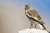 White-winged Snowfinch (Montifringilla nivalis), juvenile standing on a rock, Abruzzo, Italy