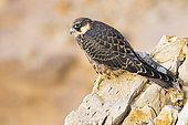 Faucon d'Eléonore (Falco eleonorae) juvénile sur rocher, Sardaigne, Italie
