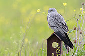 Montagu's Harrier (Circus pygargus), adult male, Campania, Italy